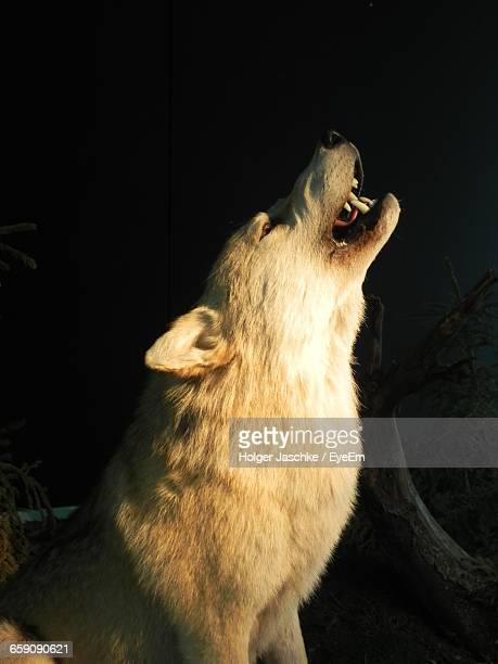 Close-Up Of Howling Wolf At Night