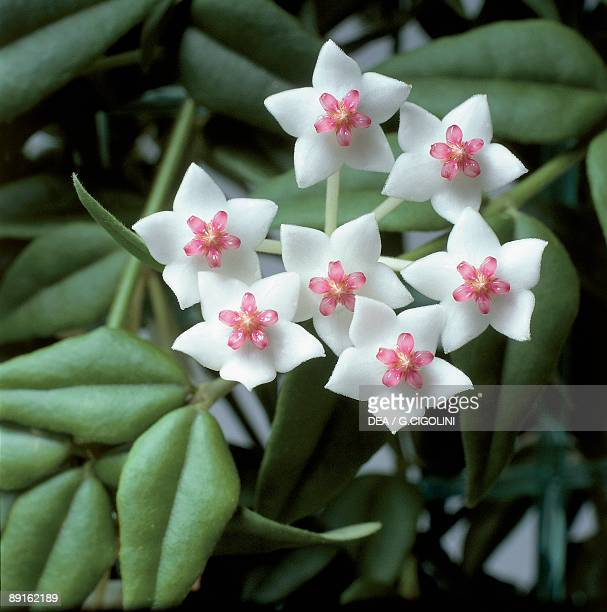 Closeup of Hoya bella flowers