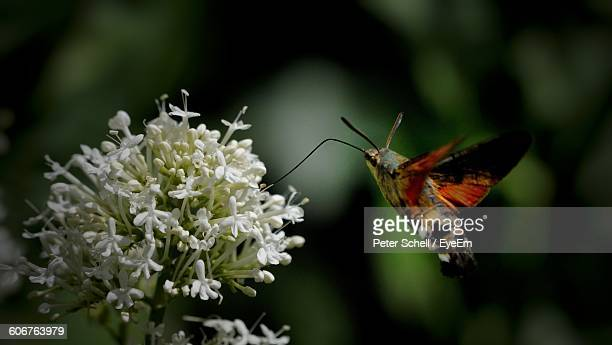 Close-Up Of Hummingbird Hawk-Moth Flying By White Flowers