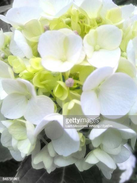 Close-Up Of Hydrangea Growing Outdoors