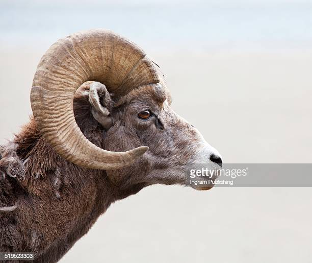 Close-up of Ibex