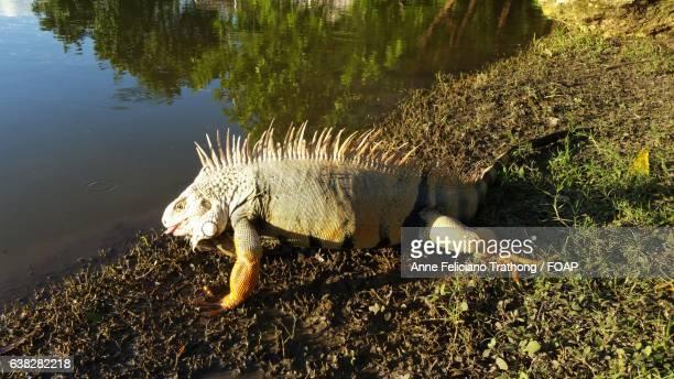 Close-up of iguana near lake