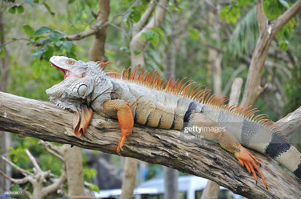 Primer plano de la Iguana : Foto de stock