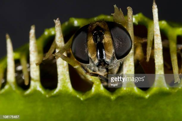 Close-up of Insect Caught in Venus Fly Trap