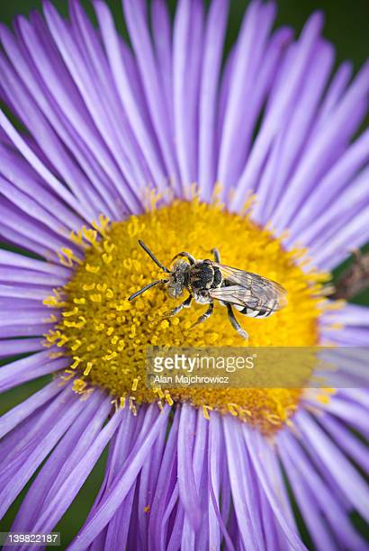 Closeup of insect collecting pollen on a purple Fleabane blossom, Erigeron spp