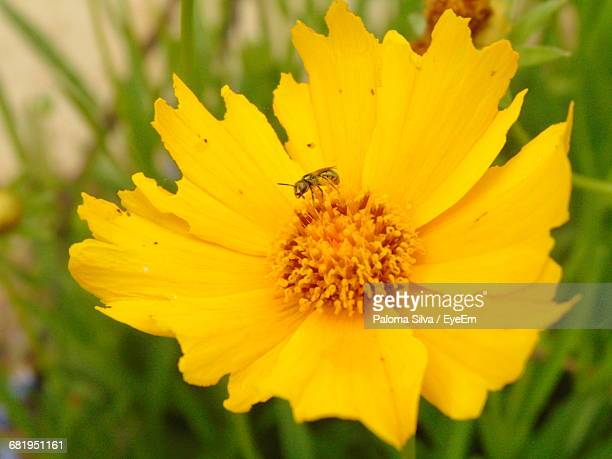 Close-Up Of Insect On Yellow Cosmos Flower