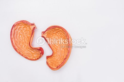 Closeup of internal organs dummy on white background human anatomy close up of internal organs dummy on white background human anatomy model stomach ccuart Images