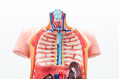 Close-up of Internal organs dummy on white background. Human anatomy model. Thoracic Cavity.