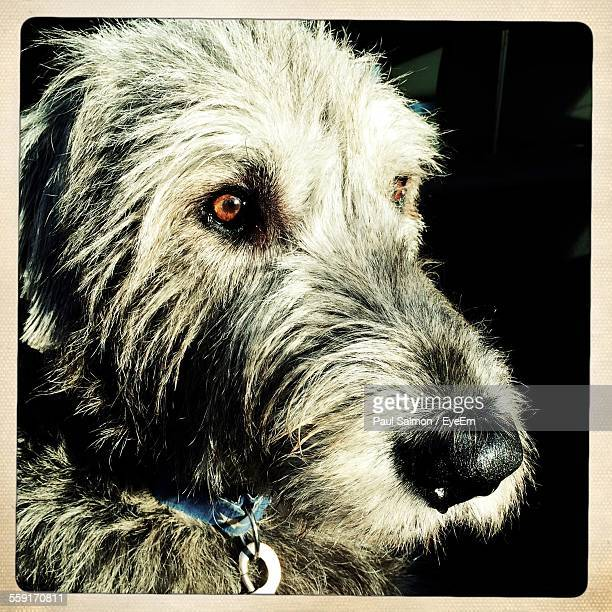 Close-Up Of Irish Wolfhound