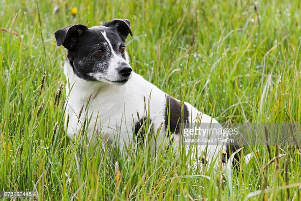 Close-Up Of Jack Russell Terrier Sitting On Grassy Field