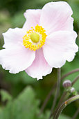 Close-Up Of Japanese Anemone