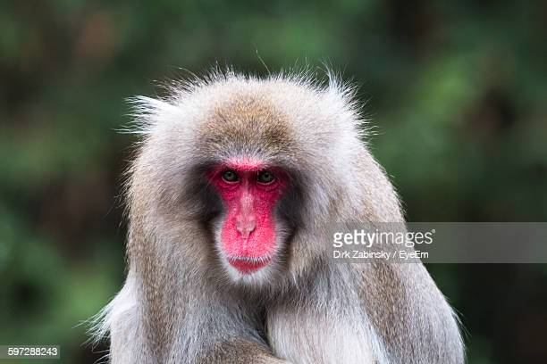 Close-Up Of Japanese Macaque In Forest