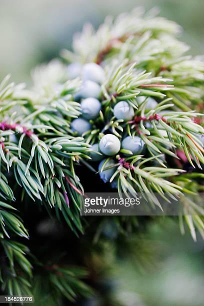 Close-up of juniper berries on twig