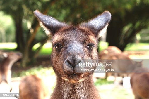 Close-Up Of Kangaroo