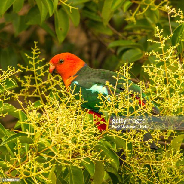 Close-Up Of King Parrot Perching On Plant
