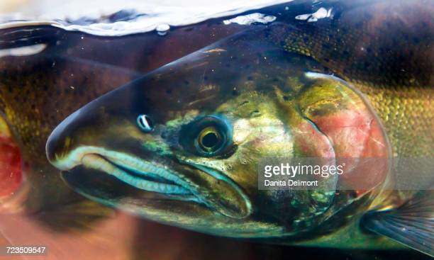 Close-up of King Salmon (Oncorhynchus Tshawytscha) head, Issaquah, Washington State, USA