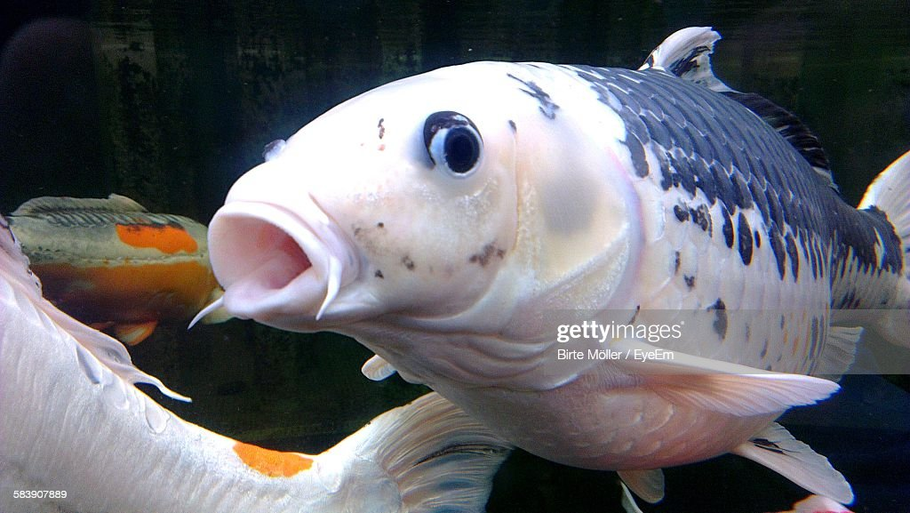 Closeup of koi carp fish in aquarium stock photo getty for Carp in a fish tank