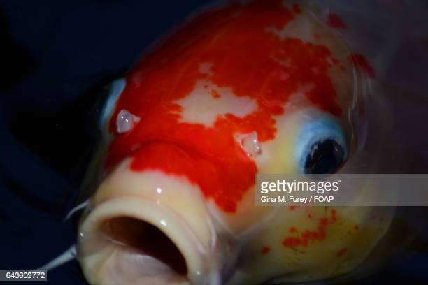 Close-up of Koi carp