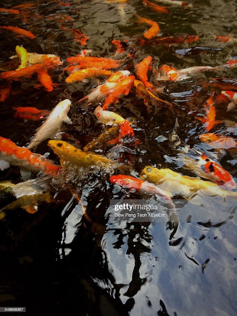 Closeup of koi fish in water stock photo getty images for Koi fish in water