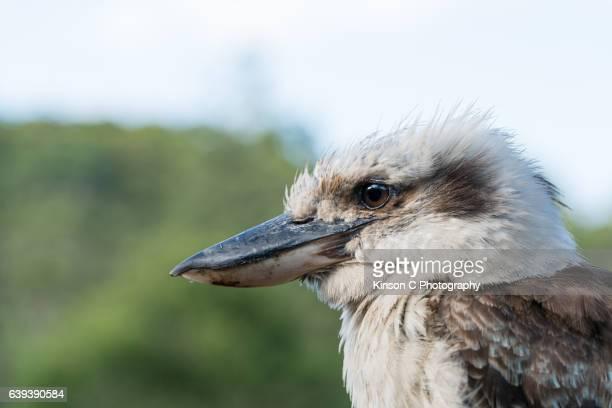 Closeup (Headshot) of Kookaburra