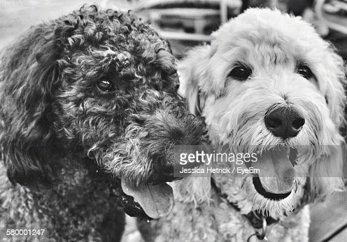 Close-Up Of Labradoodle Dogs