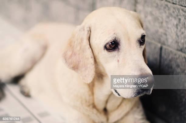 Close-up of labrador