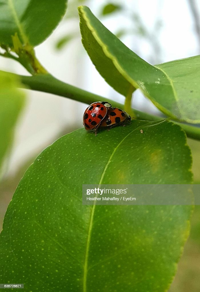 Close-Up Of Ladybugs Mating On Plant