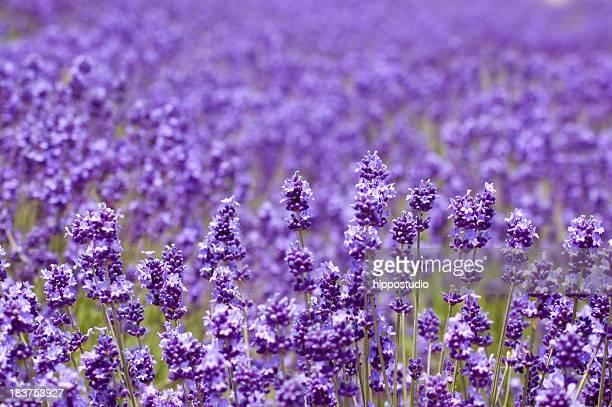 Nahaufnahme von Lavendel Hintergrund in Hokkaido in Japan