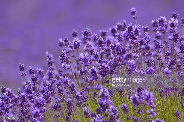 Close-up of Lavender background in Hokkaido Japan
