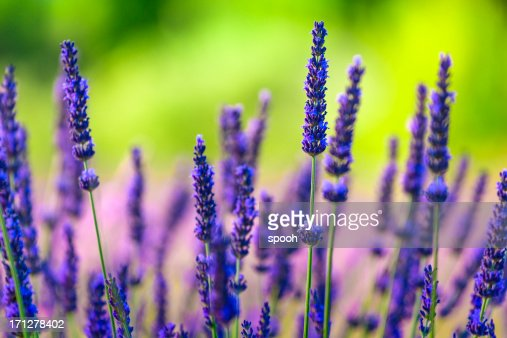 Close-up of lavender flowers in a field