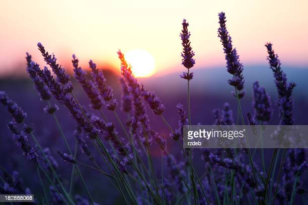 Close-up of lavender flowers in front of the sunset