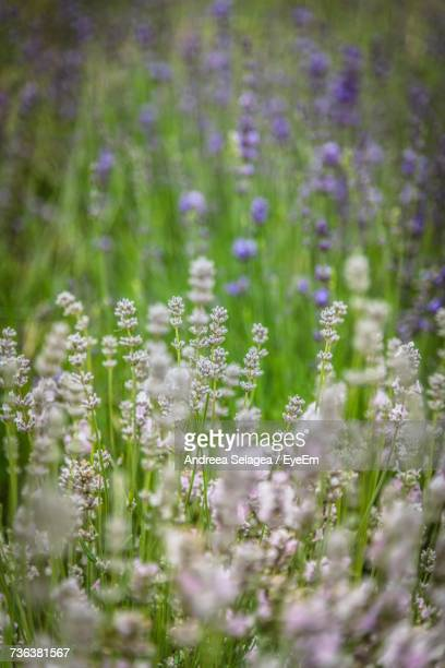 Close-Up Of Lavender Flowers On Field