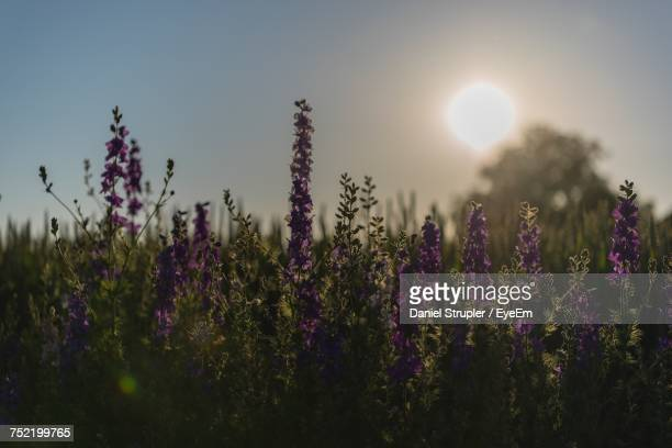 Close-Up Of Lavender Plants On Field Against Sky