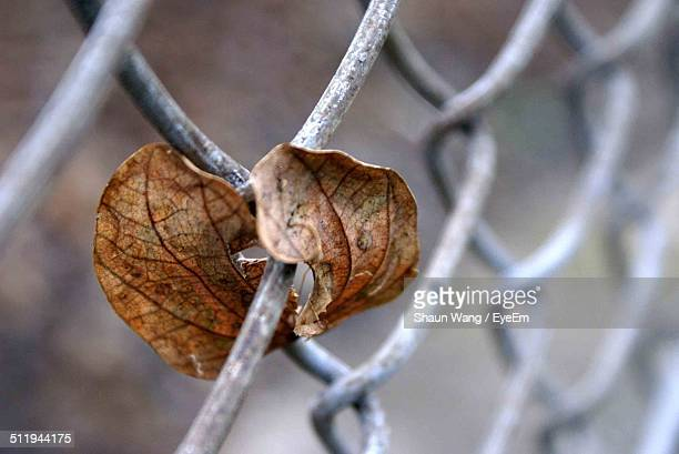 Close-up of leaf trapped on chain-link fence