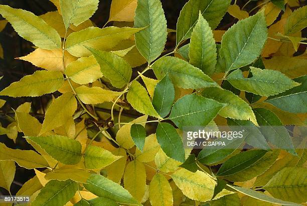 Closeup of leaves of an Ash tree