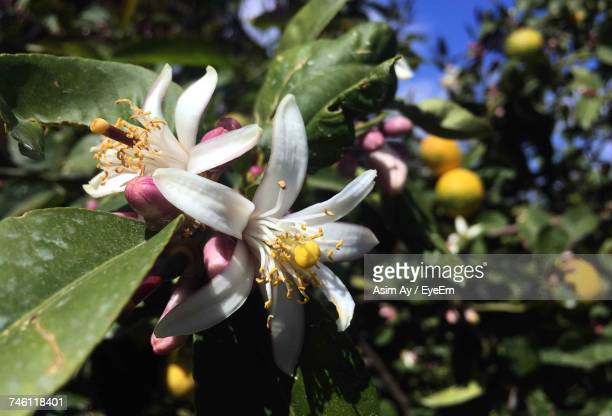 Close-Up Of Lemon Blossom Blooming In Orchard