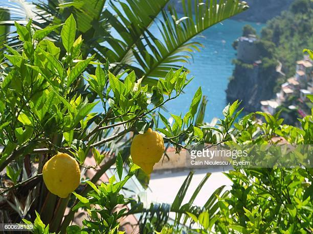 Close-Up Of Lemon Tree Against Sea