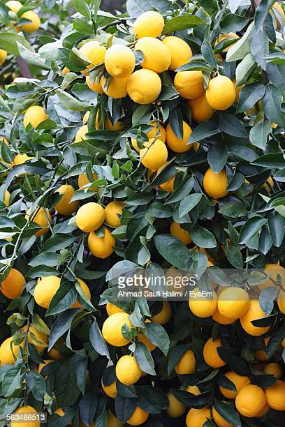 Close-Up Of Lemons Hanging On Tree