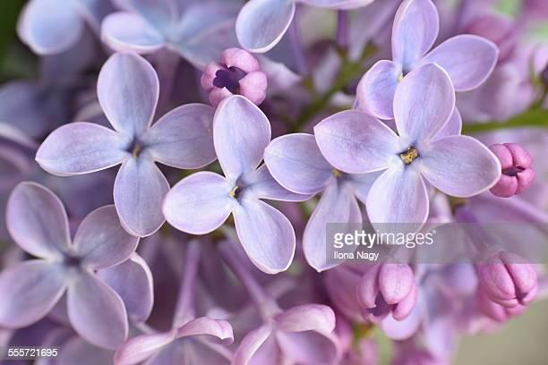 Closeup of lilac flowers