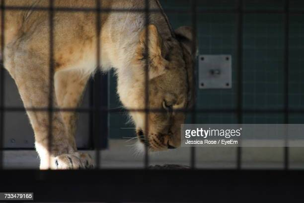 Close-Up Of Lion In Cage
