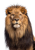 Close-up of a Lion looking up, Panthera Leo, 10 years old, isolated on white