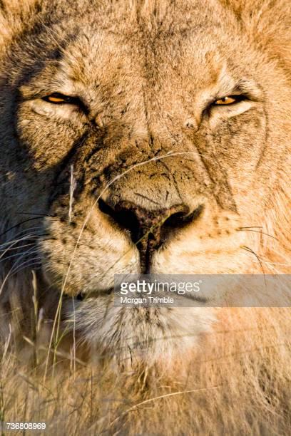 Close-up of lion, Panthera leo, Kgalagadi Transfrontier Park, Northern Cape, South Africa, Kgalagadi District, Botswana
