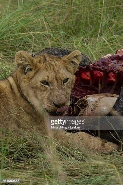 Close-Up Of Lioness Eating A Kill