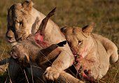 Close-Up Of Lioness Hunting