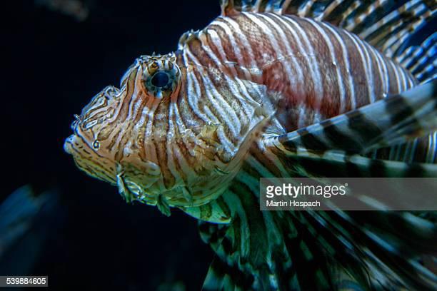 Close-up of lionfish against black background