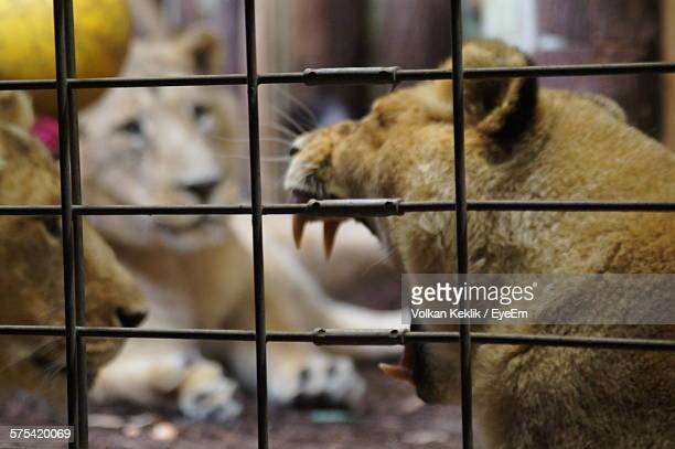 Close-Up Of Lions In Cage