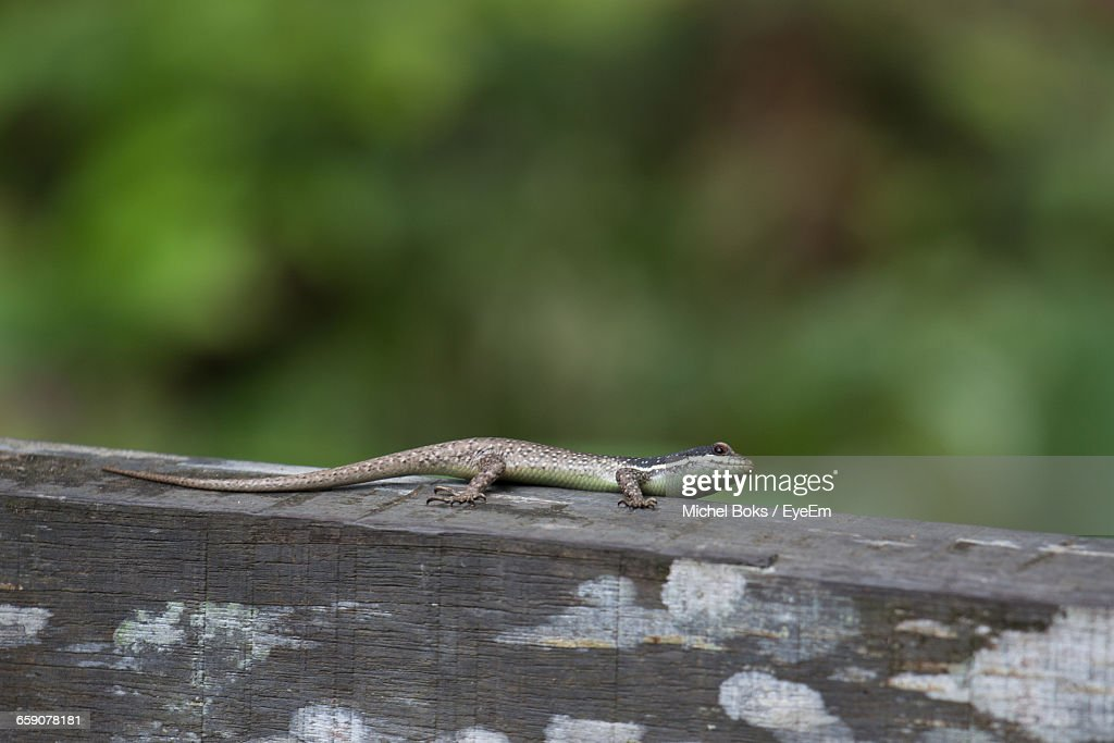 Close-Up Of Lizard On Wooden Railing
