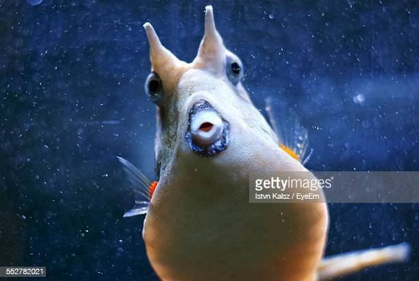 close up of longhorn cowfish in aquarium