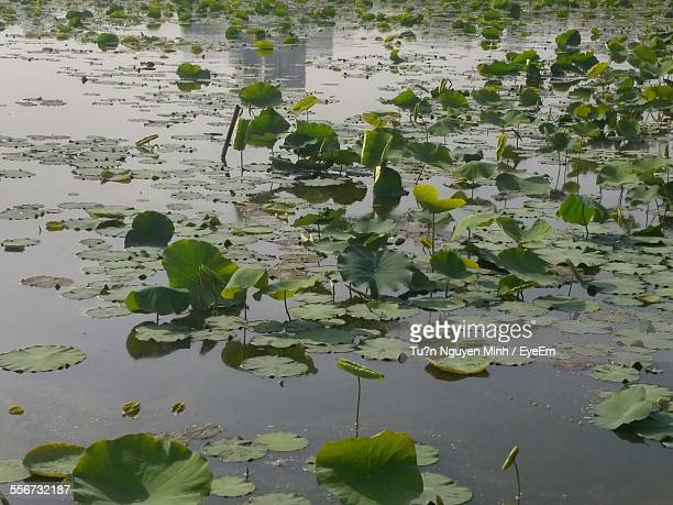 Close-Up Of Lotus Leaf Floating On Water