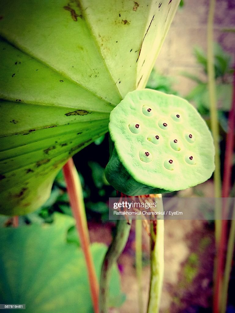 Close-Up Of Lotus Root And Plants Outdoors